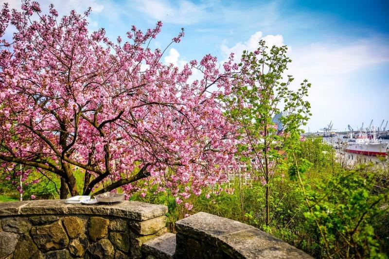 Kirschblüte am Stintfang