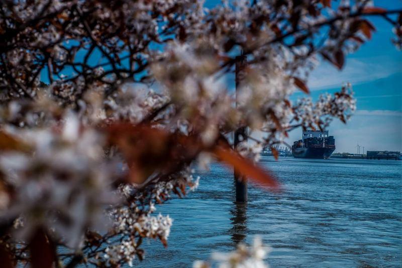 Kirschblüte und Containerschiff